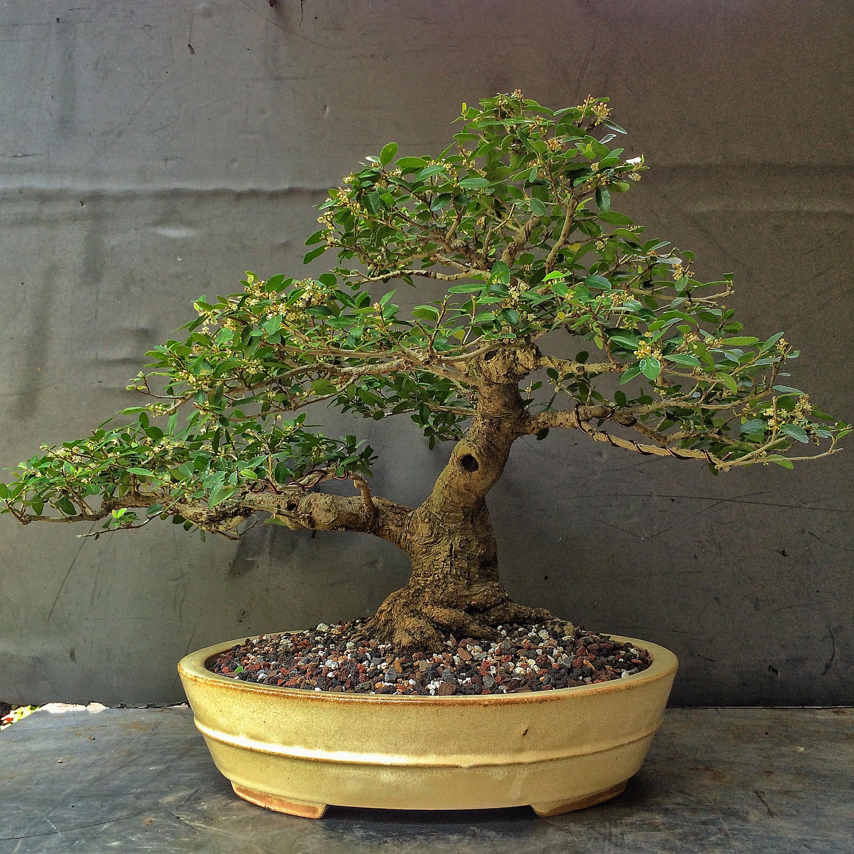 Bonsai tree making classes in bangalore dating 9