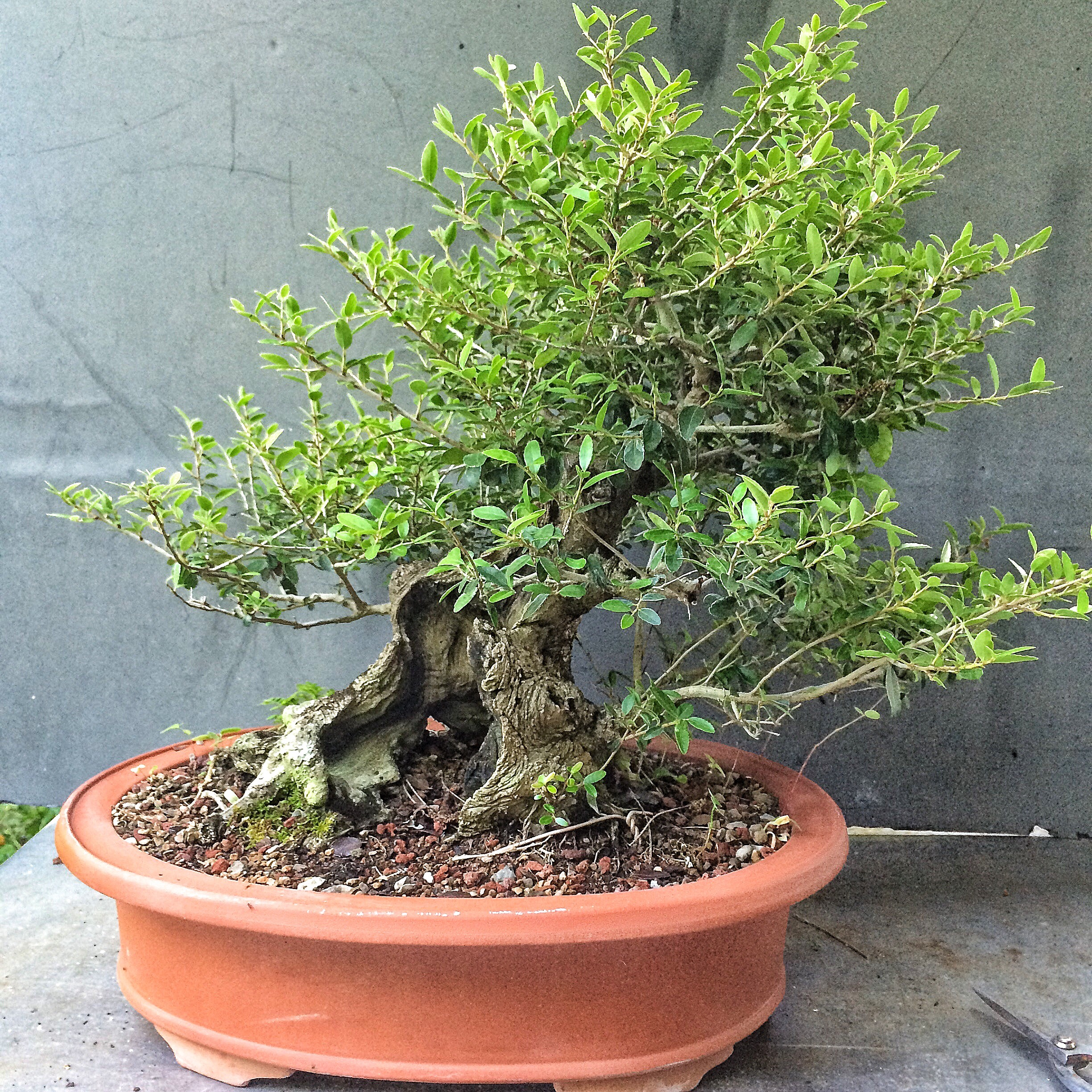 Sometimes You Need To Neglect Your Bonsai Adam39s Art And Bonsai Blog