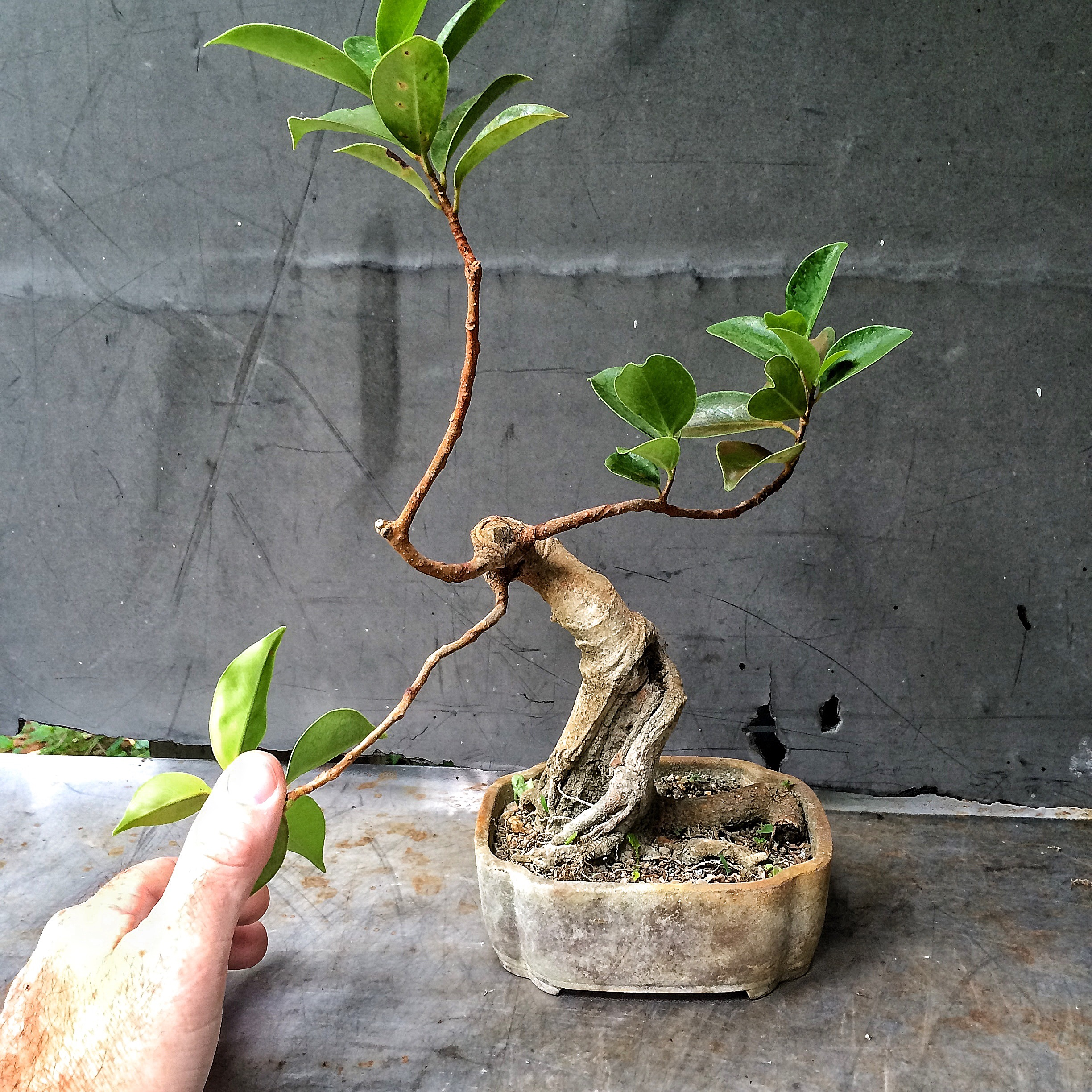 Buy The Trunk Not The Branches Adam S Art And Bonsai Blog