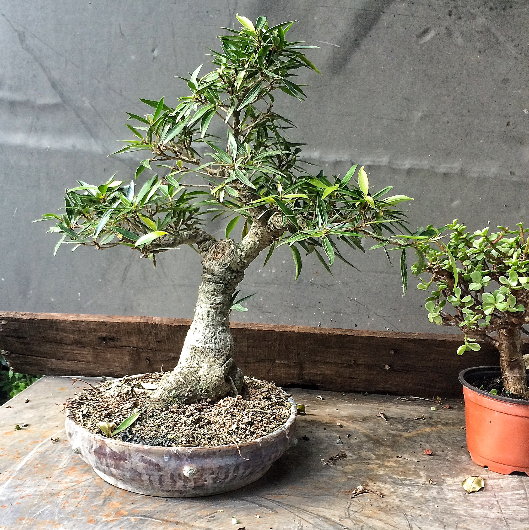Transforming a ficus tree with (gasp!) copper wire – Adam's ... on