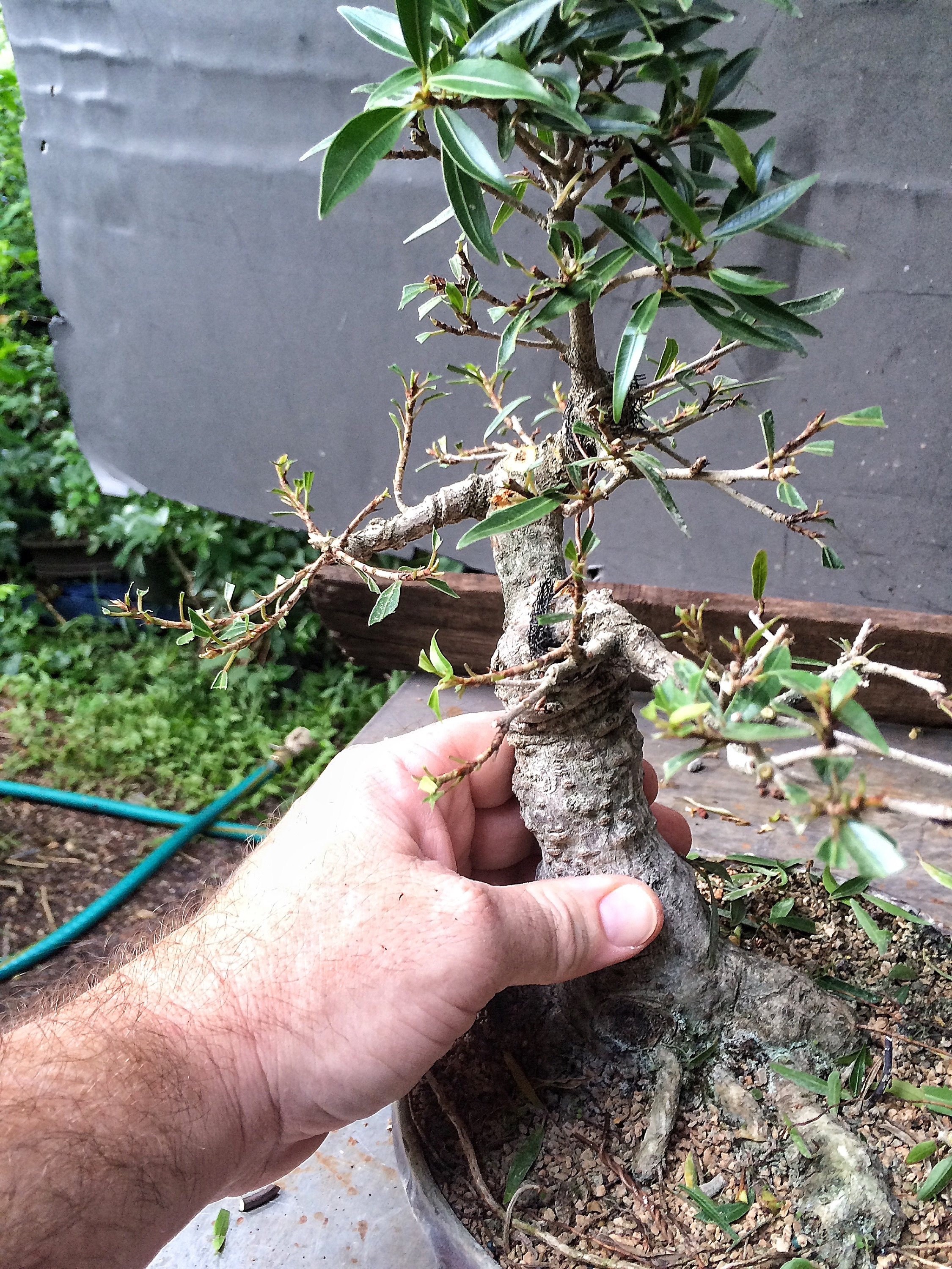 Transforming A Ficus Tree With Gasp Copper Wire Adams Art And Bonsai Wiring Img 4609