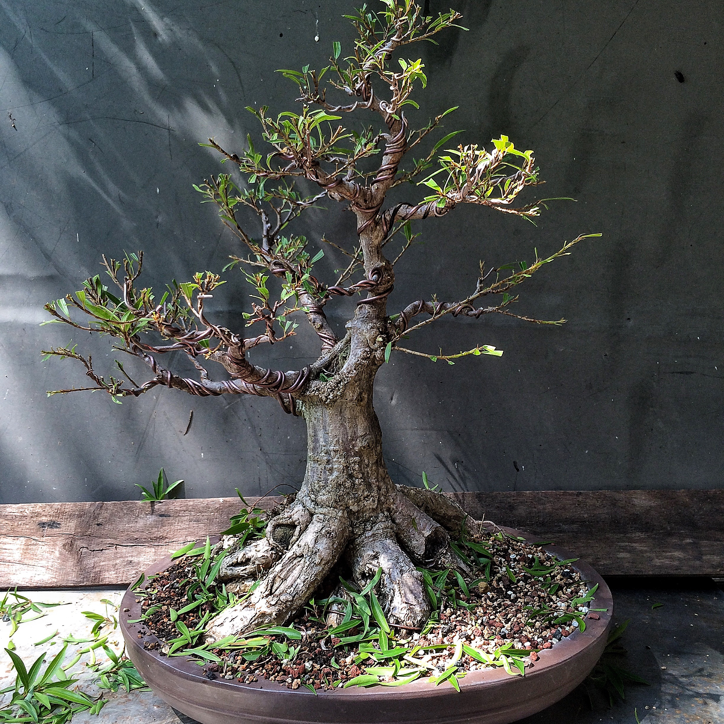 Cracked Pots Wire Scars Ficus In Focus And Some Philosophy Adam S Art And Bonsai Blog