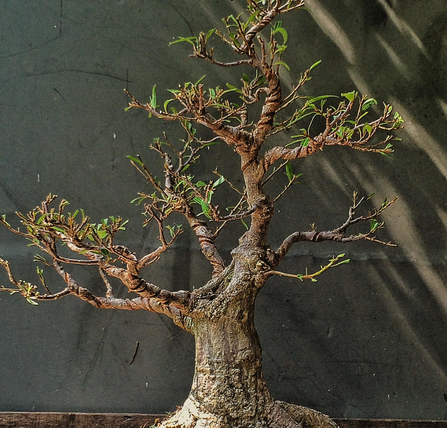 bonsai wiring how long library of wiring diagram u2022 rh jessascott co bonsai wiring pseudocydonia sinensis bonsai wiring techniques with pics