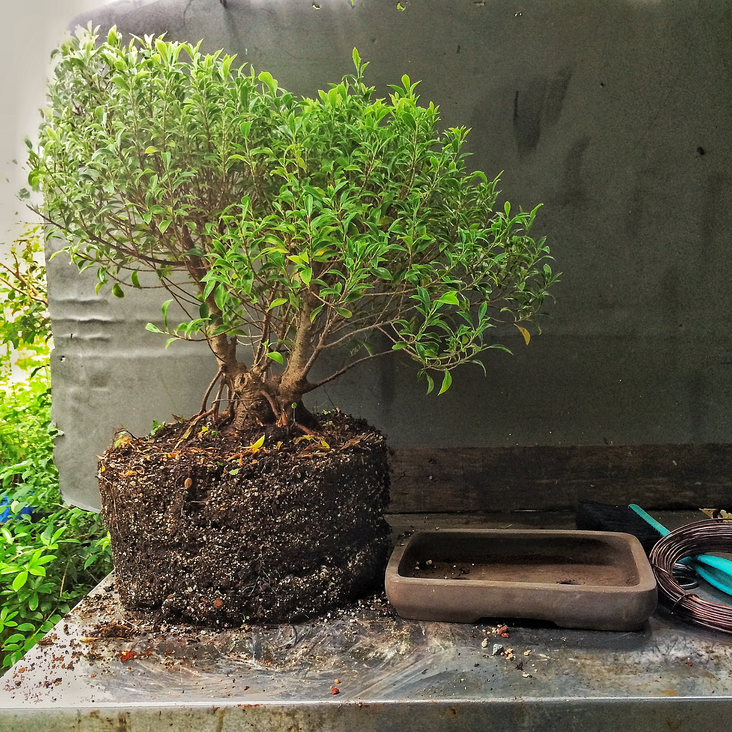 A Size 12 Plant Into A Size 4 Bonsai Pot Adam39s Art And Bonsai Blog