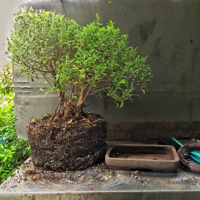 Miraculous A Size 12 Plant Into A Size 4 Bonsai Pot Adams Art And Bonsai Blog Wiring 101 Ivorowellnesstrialsorg