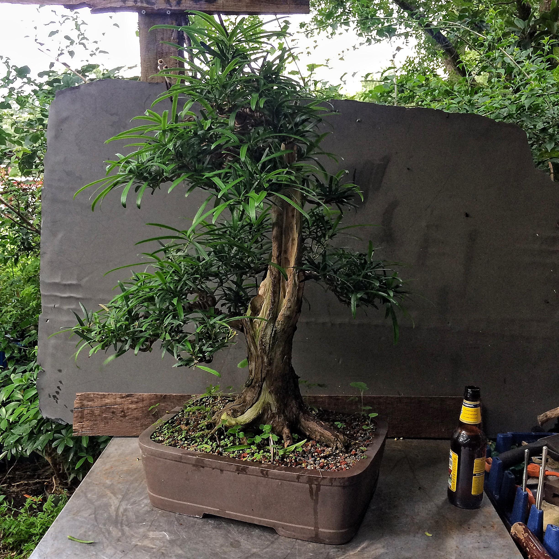 Podocarpus Podo Crazy Adam S Art And Bonsai Blog