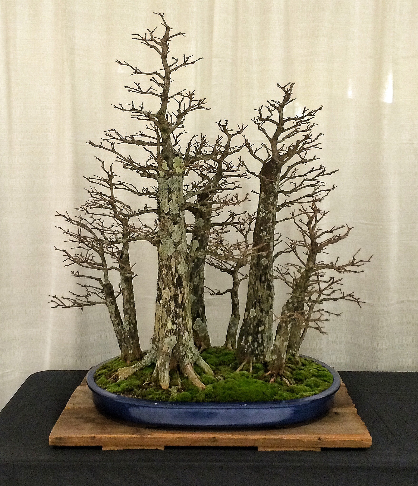 Finally The Trees Of The Winter Silhouette Bonsai Expo 2015 Adam S Art And Bonsai Blog