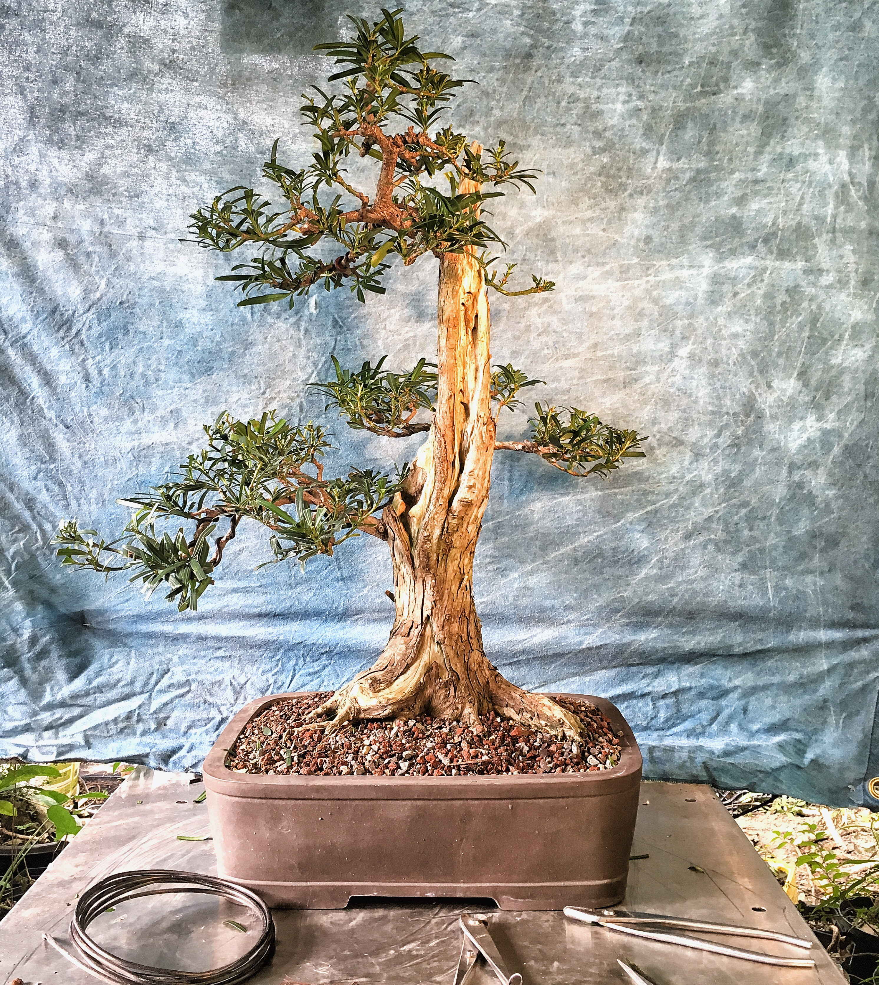 I Use Some Fancy Words To Justify My Defoliation Habit Go Figure Wiring Yew Bonsai Heres Tree Number One After The Work On It