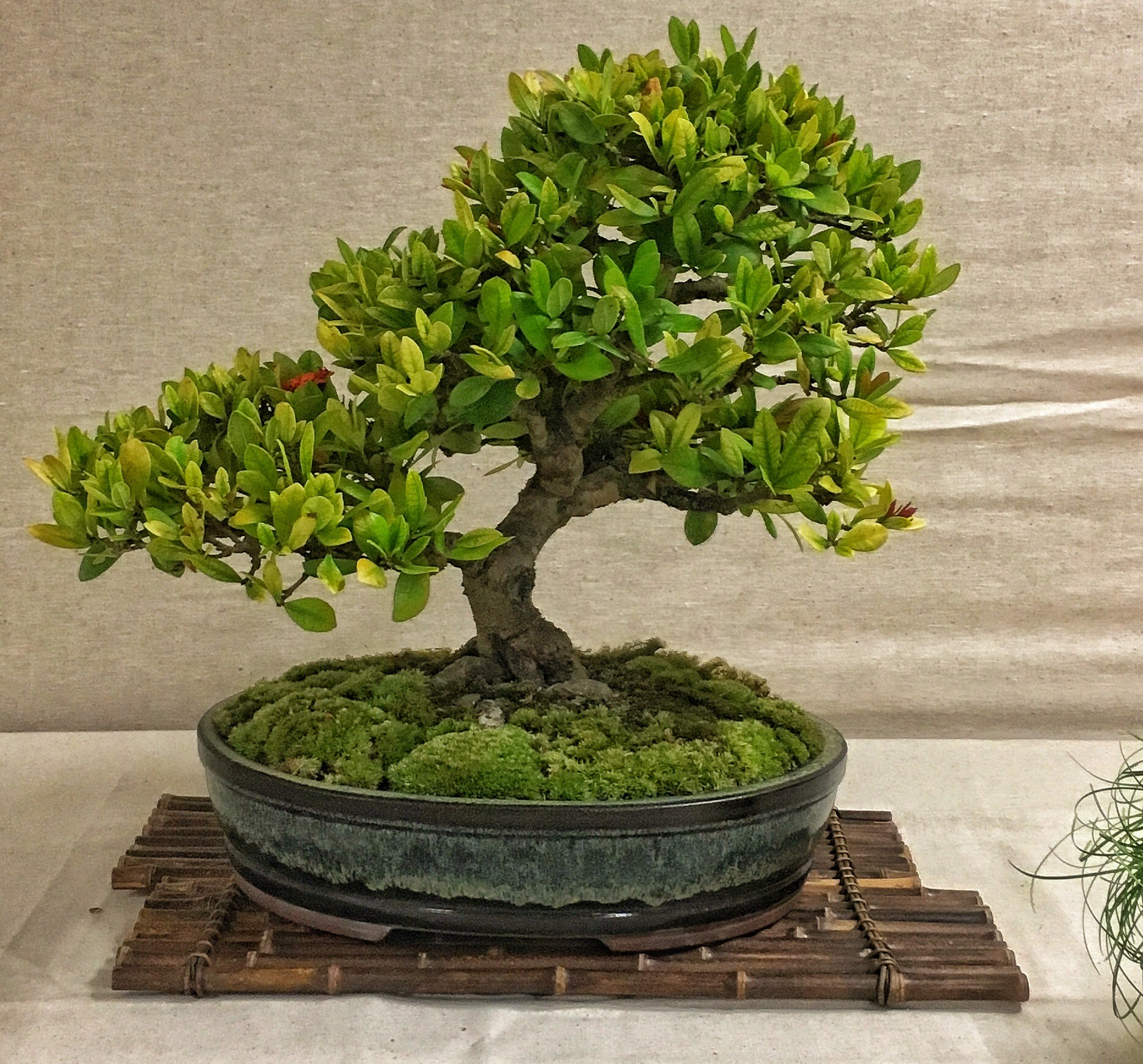 The Trees Of The Bonsai Society Of Southwest Florida S Annual Show Adam S Art And Bonsai Blog