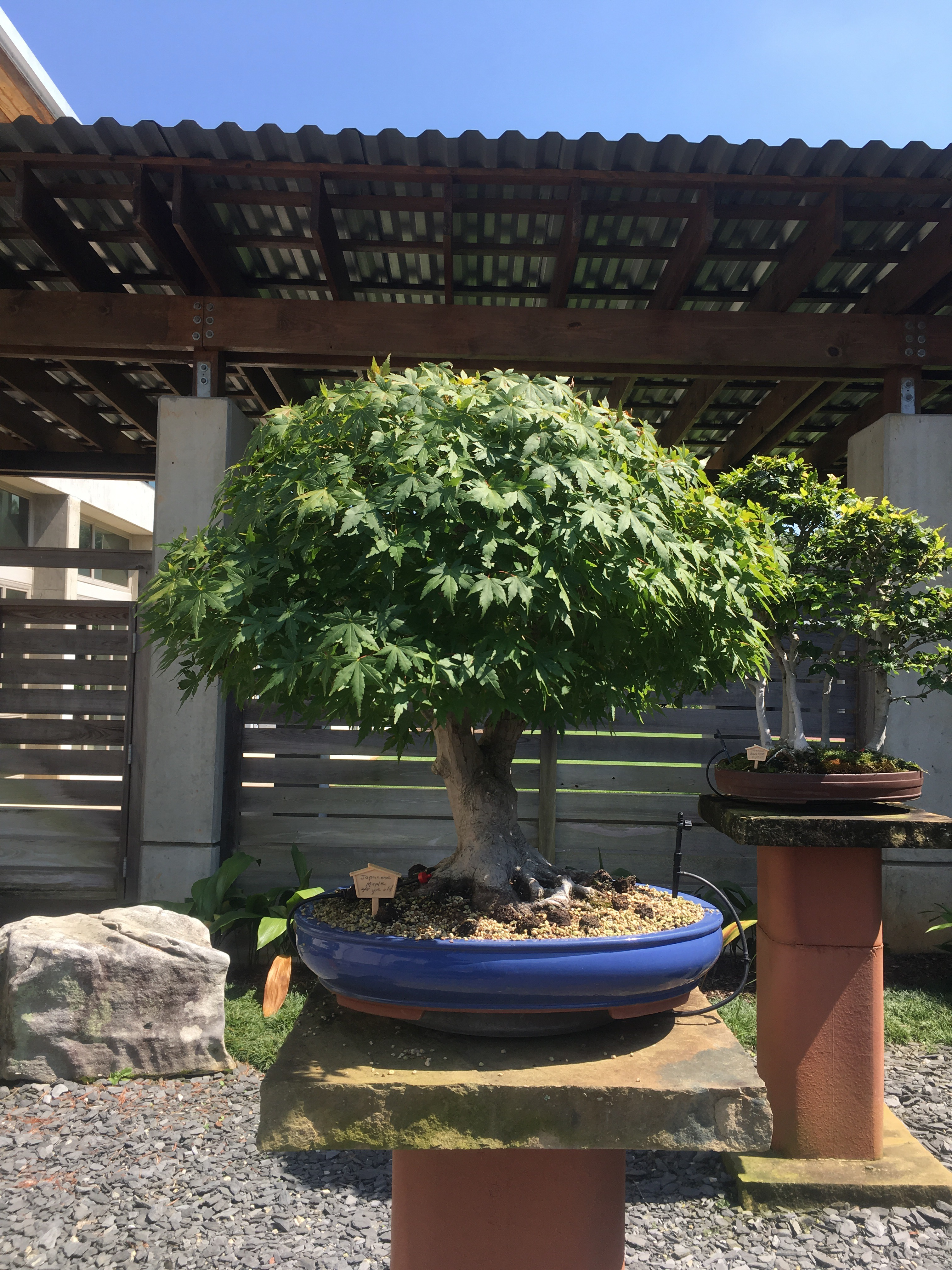 The Bonsai Collection At The Monastery Of The Holy Spirit Conyers Georgia Adam S Art And Bonsai Blog